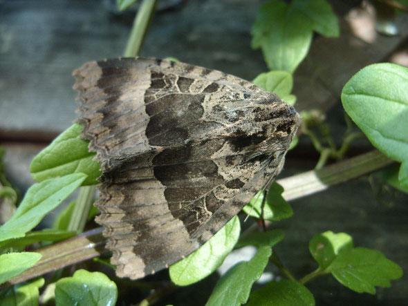 Old lady moth Mormo maura