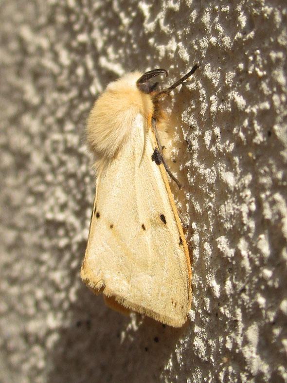 Buff ermine moth Spilosoma lutea