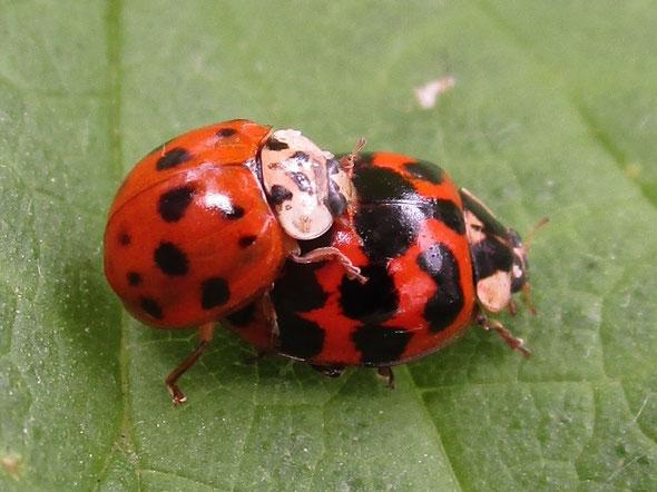 Harlequin ladybirds Harmonia axyridis