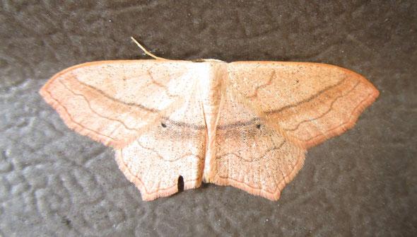 Small blood-vein moth Scopula imitaria