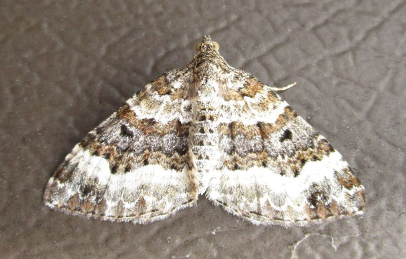 Common carpet moth Epirrhoe alternata