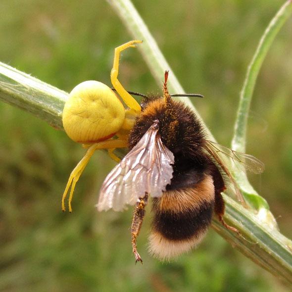 Crab spider Misumena vatia preying on a bumble bee