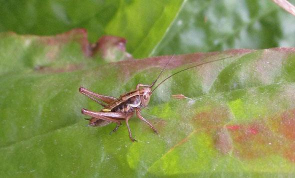 Roesel's bush cricket nymph