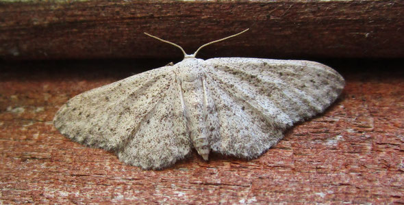 And yet another unidentified moth! One of the wave moths probably