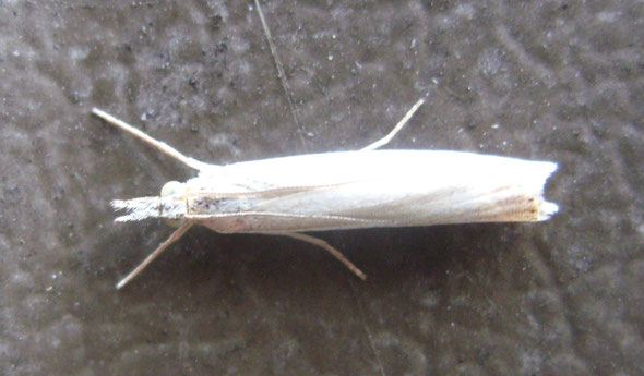 Another grass moth, probably Crambus perlella