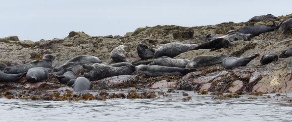 Atlantic grey seals Halichoerus grypus