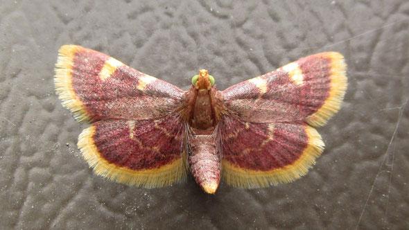 Gold Triangle Hypsopygia costalis