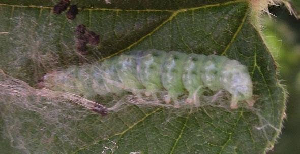 Larva of mother-of-pearl moth