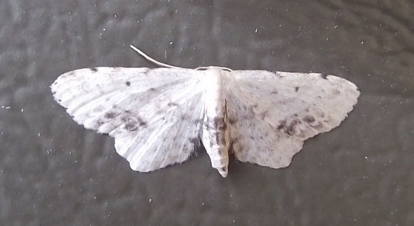 Single-dotted Wave moth Idaea dimidiata