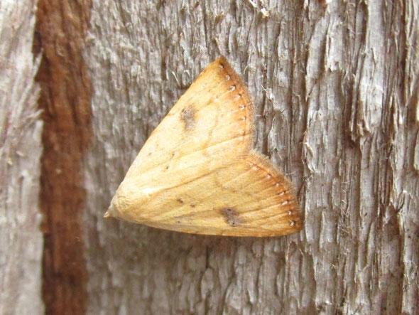 Straw dot moth Rivula sericealis