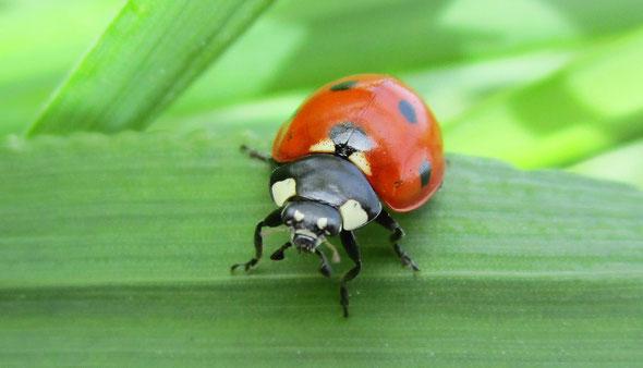 7-spot ladybird Coccinella septempunctata (or 7-punctata)