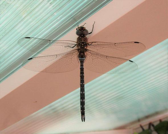 Migrant hawker dragonfly Aeshna mixta