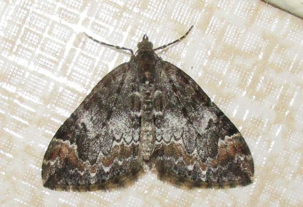 Common marbled carpet moth Dysstroma truncata