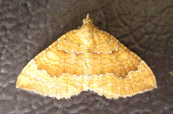 Yellow shell moth Camptogramma bilineata