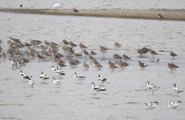 In the foreground:  Avocets Recurvirostra avosetta