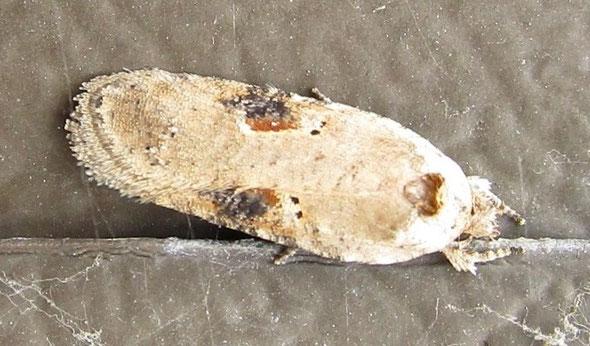 Micromoth Agonopterix alstromeriana