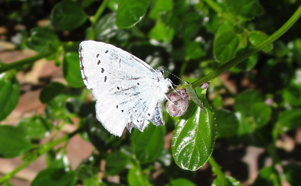Holly blue butterfly Celastrina argiolus