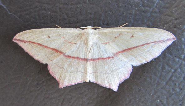 Blood-vein moth Timandra comae