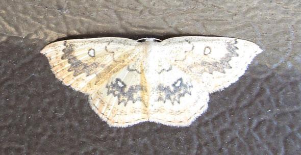 Mocha moth Cyclophora annularia