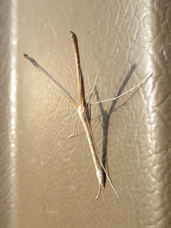 Saltmarsh plume moth Agdistis bennetii
