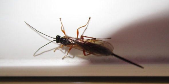 Miscellaneous parasitic wasp