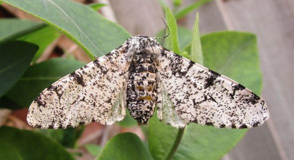 Peppered moth Biston betularia