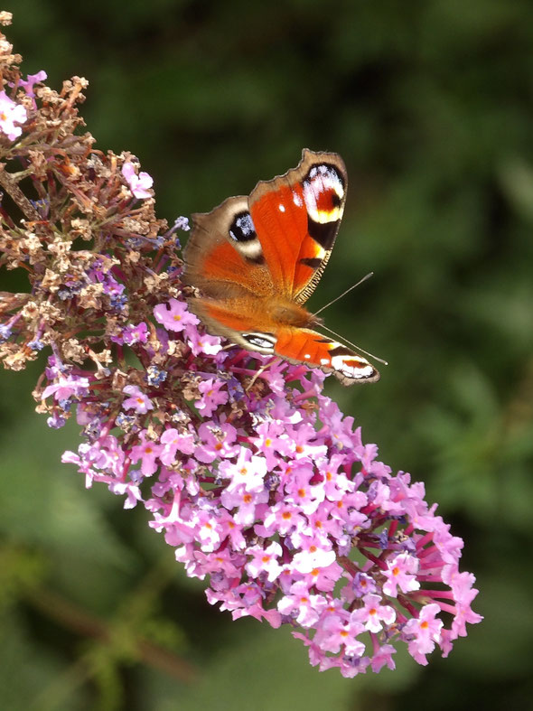 Peacock butterfly Aglais io, again on buddleia!