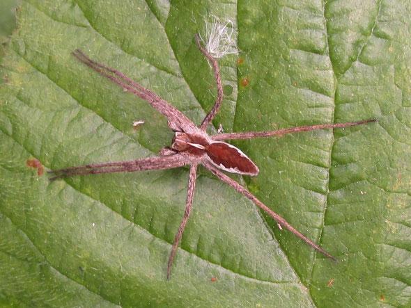 Nursery-web spider Pisaura mirabilis