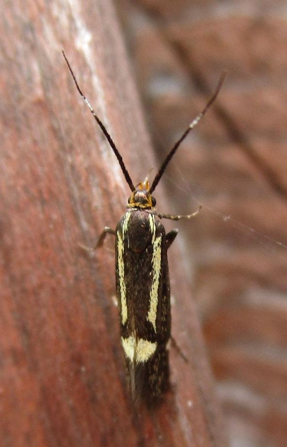 Micromoth Esperia sulphurella