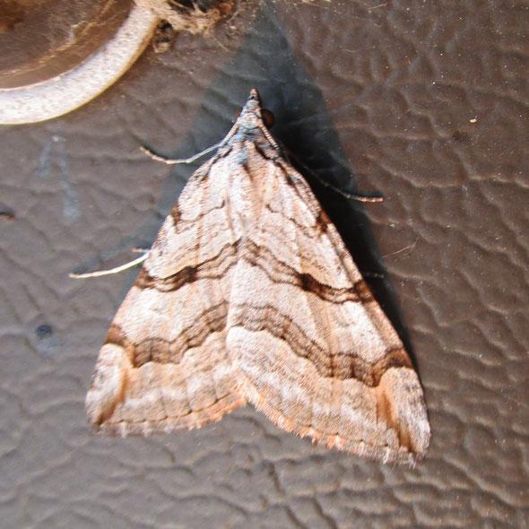 Treble-bar Aplocera plagiata, or possibly the very similar lesser treble-bar Aplocera efformata