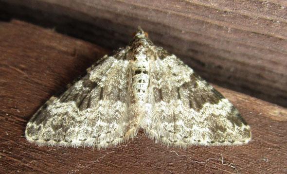 Garden carpet moth Xanthorhoe fluctuata