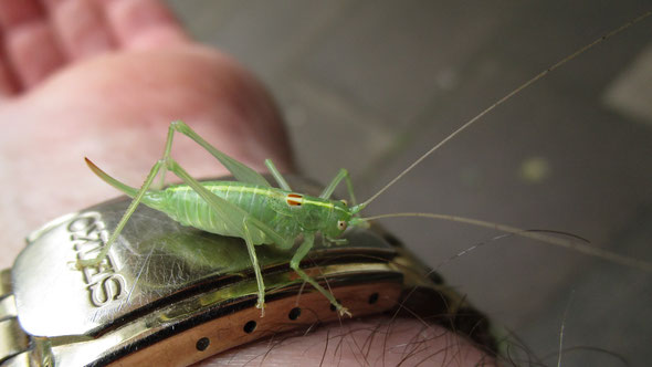 Oak Bush-cricket Meconema thalassinum