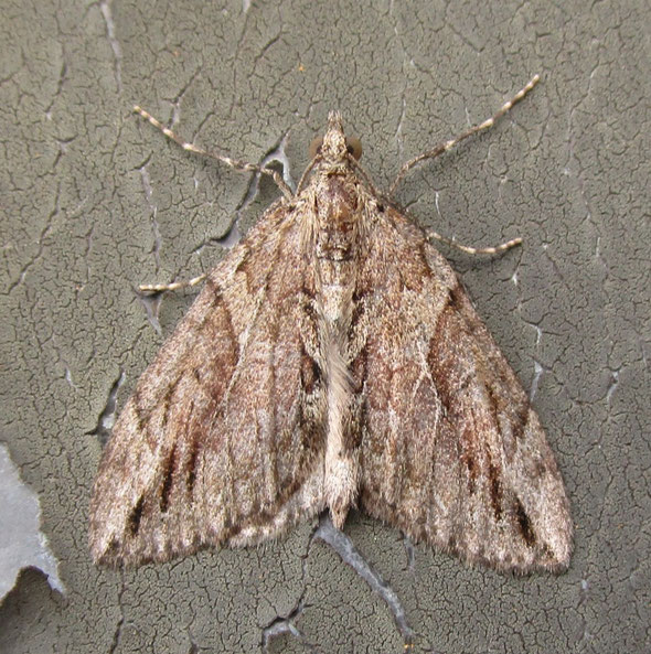 Cypress carpet moth Thera cupressata