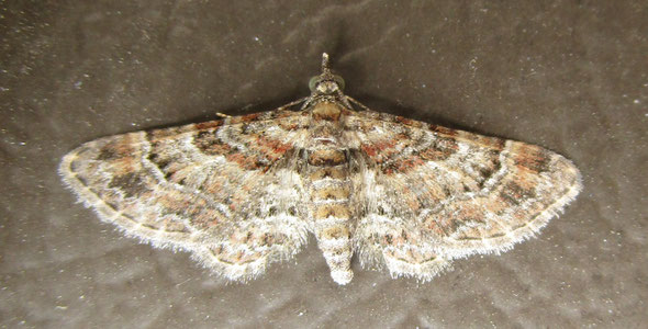 Double-striped pug moth Gymnoscelis rufifasciata