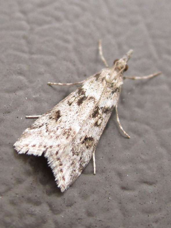 Miscellaneous crambid moth