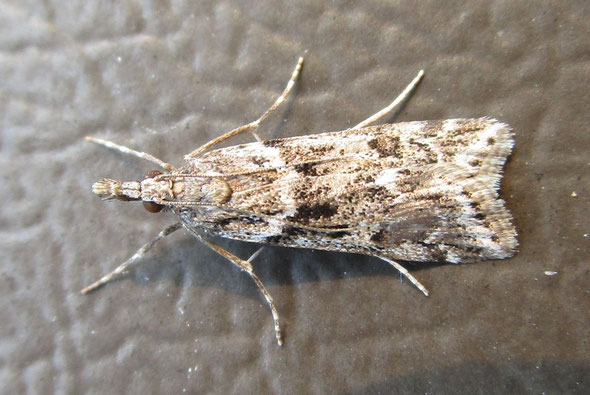 Small Crambid moth – pretty confident this is a Eudonia species; further than that I will not go