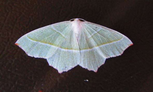 Light Emerald moth Campaea margaritata