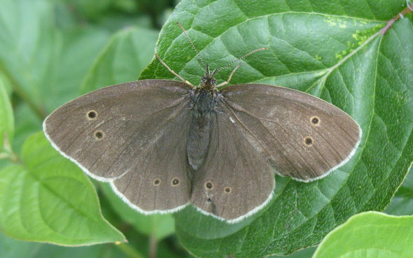 Ringlet butterfly Aphantopus hyperantus