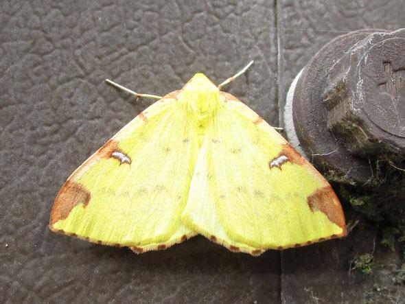 Brimstone moth Opisthograptis luteolata