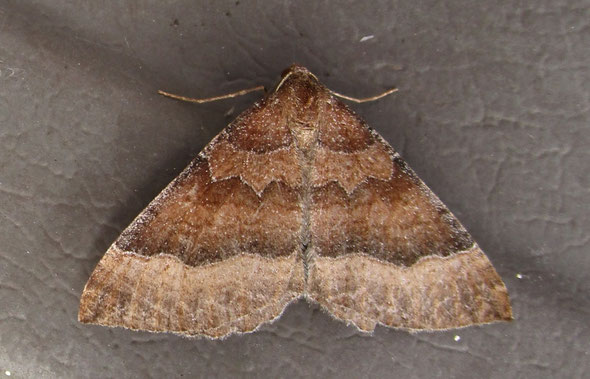 Mallow moth Larentia clavaria