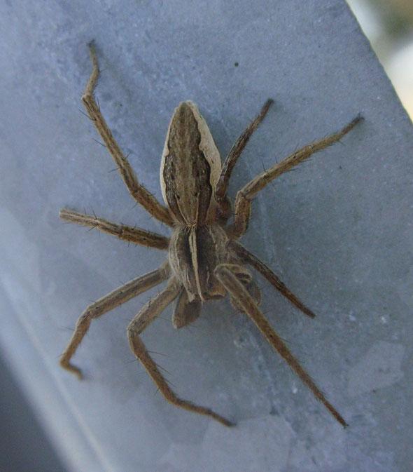 Spider Pisaura mirabilis
