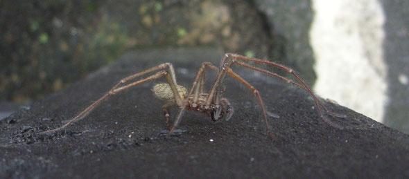 Male Tegenaria house spider