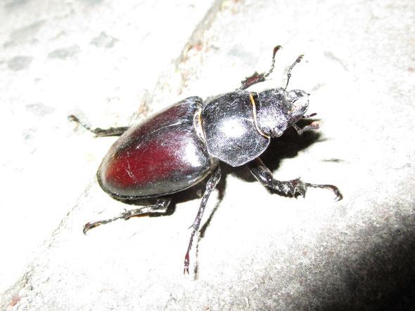 Female stag beetle Lucanus cervus
