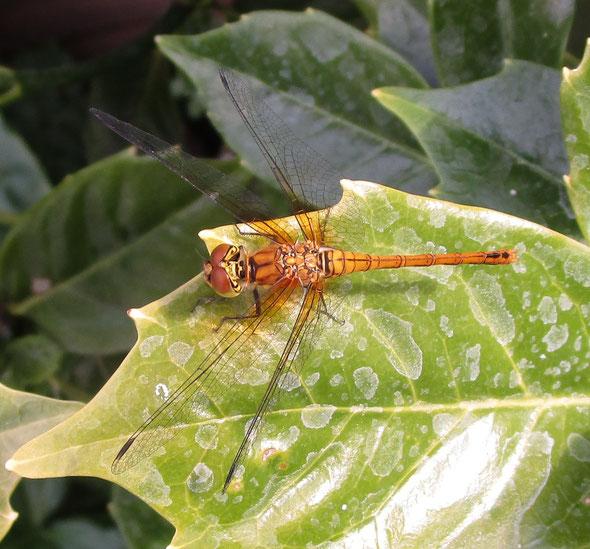 Female ruddy darter dragonflySympetrum sanguineum