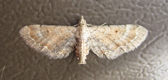 Possibly the plain pug moth Eupithecia simpiciata