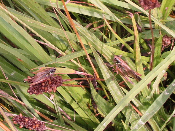 Pair of Roesel's bush crickets Metrioptera roeselii