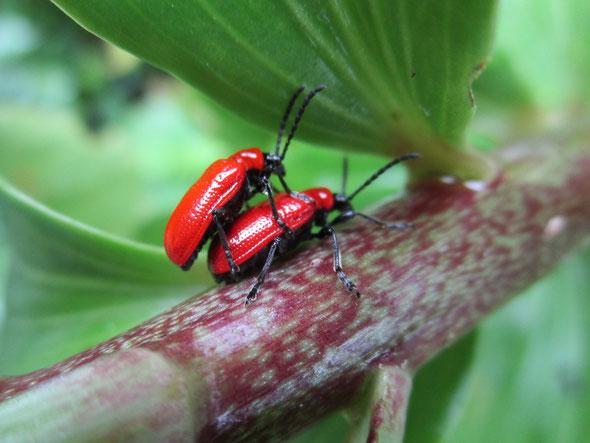 Lily beetles Lilioceris lilii