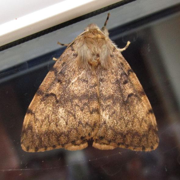 Gypsy moth Lymantria dispar