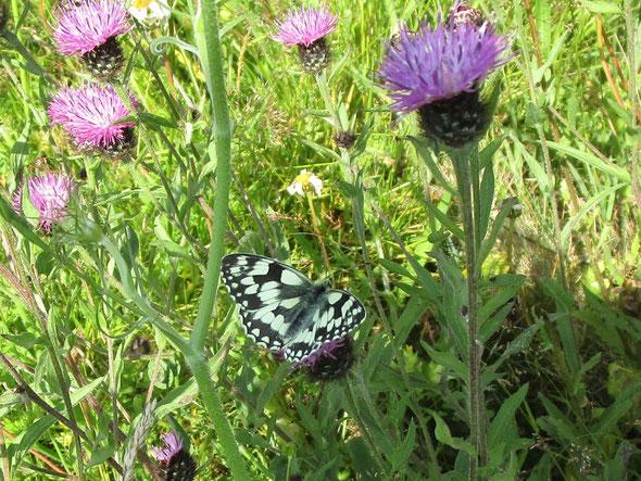 Marbled white butterfly Melanargia galathea