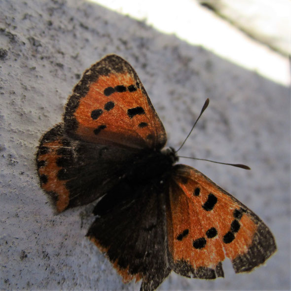 Small copper Lycaena phlaeas